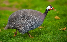 Helmeted Guineafowl  Wallpaper